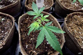 FILE - In this July 12, 2018 file photo, a newly-transplanted cannabis cuttings grow in pots at a medical marijuana cultivation facility in Massachusetts.