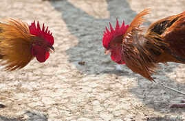 Roosters prepare to attack each other during a cockfight. Cockfighting was outlawed in Cambodia in 2009 but police recently raided a cockfighting operation allegedly run by a relative Prime Minister Hun Sen.