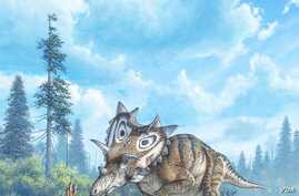 Spiclypeus shipporum, a new three horned dinosaur that lived in Montana had curved horns and a huge bony spiked shield.