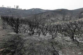 Burned plants are shown on a hill near Clearlake, Calif., Aug. 5, 2015.