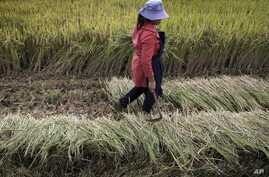 FILE - A worker harvests rice at a field in suburban Kunming, Yunnan province, China.