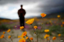 "A man looks at the wildflowers in bloom near Borrego Springs, Calif., March 6, 2019. Two years after steady rains sparked seeds dormant for decades under the desert floor to burst open and produce a spectacular display dubbed the ""superbloom,"" anothe"