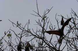 FILE - Bats fly over a tree at a central park in Dhaka, Bangladesh, Thursday, March, 6, 2008.