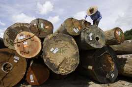 FILE - A worker marks timber logs at a concession area in the Miri interior, eastern Malaysian Borneo state of Sarawak.