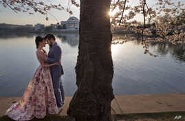 Suzy Dodge, 32, left, and Justin Cook, 35, of Washington, pose for a portrait in advance of their wedding, for photographer Amelia Johnson, under cherry blossoms in bloom at the tidal basin in Washington, March 24, 2016.