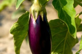 Critics question the safety of a pest-resistant strain of eggplant.