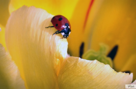 FILE - A ladybug rests on the petals of a flower in the Capitol Hill garden in Washington, DC. (Photo: Diaa Bekheet).
