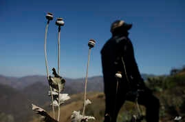 A man stands in a poppy field in the Sierra Madre del Sur mountains of Guerrero state, Mexico. A Mexican army general said, March 15, 2017, his forces are increasingly coming under fire from drug traffickers protecting opium poppy fields in Oaxaca st