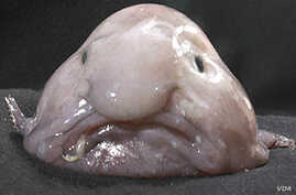 The blobfish has been voted world's ugliest animal.
