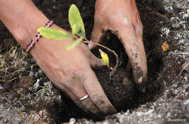 A worker plants seedlings for reforestation