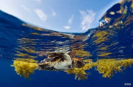 Young loggerhead seeks refuge in Sargassum seaweed where it's warm and there's plenty to eat. (Jim  Abernethy, NMFS)