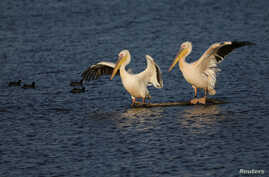 Migrating Great White Pelicans take advantage of the Hula Nature Park in northern Israel, Nov. 22, 2017.