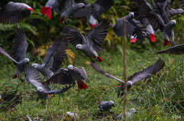 FILE - African grey parrots are seen at Lomami National Park, Democratic Republic of Congo, in a 2014 photo. (Source - Lukuru Foundation/bonoboincongo.com)