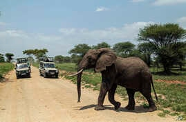 An elephant crosses a road made for Safari vehicles as tourists take photos in Tarangire National Park on the outskirts of Arusha, northern Tanzania, Jan. 16, 2015.