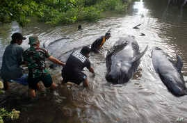Rescuers pull dead whales ashore in Probolinggo, East Java, Indonesia, Thursday, June 16, 2016 during a mass rescue operation of stranded whales. Most of more than 30 stranded whales were managed to be pulled into the deep sea, an official said.