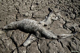 Dead yacare caimans are seen in the dried-out bed of the Pilcomayo River in Boqueron, Paraguay, Aug. 14, 2016.