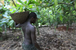 farmer Issiaka Ouedraogo walks amongst cocoa trees on a farm