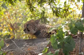 The cheetahs spent their first three weeks in an enclosure before being released into Liwonde National Park in Malawi.