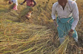 India Emerges as a Top Rice Exporter