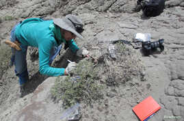 FILE - University of Colorado Boulder Associate Professor Karen Chin excavates dinosaur coprolites at Grand Staircase-Escalante National Monument in Utah, May 10, 2013. The new study shows herbivorous dinosaurs also were eating crustaceans, likely se