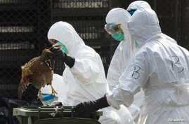 A health worker removes a dead chicken at a wholesale poultry market in Hong Kong, Jan. 28, 2014.