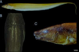 Various fews of the newly discovered Procerusternarchus pixuna electric fish are seen in this photo from the University of Massachusetts.