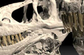 Dinosaur Skull Reveals Youthful Secrets
