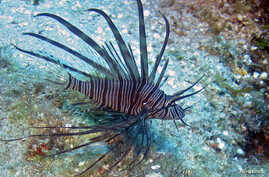 A lionfish is seen on the reefs off Roatan, Honduras in this picture taken May 5, 2010. Native to Indo-Pacific waters, lionfish have invaded the Caribbean because of the aquarium trade and are gobbling up native species but have no predators in the r