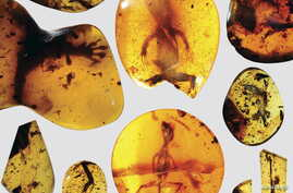 Various lizard specimens are shown preserved in ancient amber from present-day Myanmar in Southeast Asia, in this handout photo provided by the Florida Museum of Natural History on March 5, 2016.
