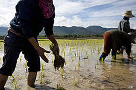 Thai Floods Damage Rice Fields, Small Impact on Global Market Predicted