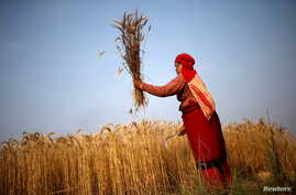 A woman harvests wheat on a field in Bhaktapur, Nepal, May 19, 2015.