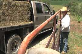 The U.S. drough has forced Iowa farmer Robb Ewoldt has to bring in hay and water daily to keep his cows fed. (Photo - K. Farabaugh)