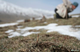 FILE - Cordyceps Sinensis, a caterpillar fungus prized in traditional Tibetan medicine, now popular in China and across the world, on the Laji mountains of Guide County, west China's Qinghai Province.