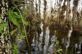 Cypress domes - where trees at the center of a swampy area grow higher than those at the edge - are the most common swamp habitat in Florida. This is Gator Hook Cypress Dome.