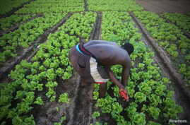 A man works at his lettuce garden in Cocody, Abidjan, May 26, 2015.