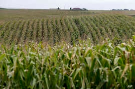 FILE - Corn fields grow in Springfield, Neb., Sept. 10, 2014.