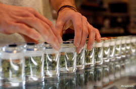 FILE - A variety of medicinal marijuana buds in jars are pictured at Los Angeles Patients & Caregivers Group dispensary in West Hollywood, California.