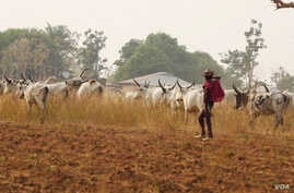 A Fulani herders leads his cattle in a pasture. The Fulani are a predominantly Muslim ethnic group. Conflict between Fulani cattleherders and Christian farmers is increasing as more cattle herders move south, oftentimes entering farming land. (C. Odu