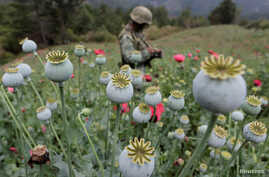 FILE - A soldier stands guard beside poppy plants before the field is destroyed during a military operation in the municipality of Coyuca de Catalan, Mexico, April 18, 2017.