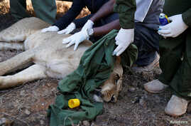 Kenya Wildlife Services veterinarians monitor a tranquilized 5-year-old lioness named Nyala after setting up a radio collar on her neck at the Nairobi National Park near Nairobi, to track her movements, Jan. 23, 2017.