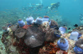 FILE: Divers swim above a bed of corals off Malaysia's Tioman island in the South China Sea, May 4, 2008.