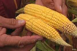 Drought-Resistant GM Corn gets Mixed Reactions