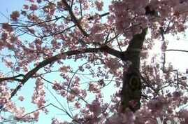 Cherry Blossoms Bust Out All Over in Washington