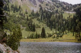 This undated photo provided by the U.S. Forest Service shows yellow-cedar trees growing along Sheep Lake east of the Cascade crest in Washington State. A study documenting mortality of yellow cedar trees in Alaska and British Columbia concludes that