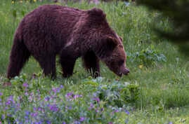 A grizzly bear roams near Beaver Lake in Yellowstone National Park, Wyoming, Wednesday July 6, 2011.  Native Americans consider the grizzly to be sacred and protests the U.S. government decision to remove Yellowstone's grizzlies from its list of thre
