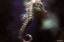 A seahorse swims in a tank at the Underwater World Aquarium in Pattaya, nearly 145 km (90 miles) east of Bangkok, Thailand, Aug. 20, 2005.