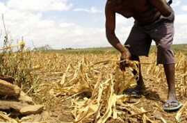 New Corn Variety Boosts Food Security Across Africa