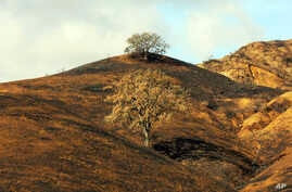 In this Nov. 22, 2018, photo, two oak trees stand on a rain-soaked, burned-over hillside following the Woolsey Fire in Agoura Hills, California.