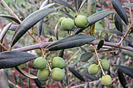 This arbequina tree is producing a good crop of olives.