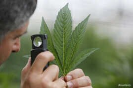 An employee inspects the leaf of a cannabis plant at a medical marijuana plantation in northern Israel